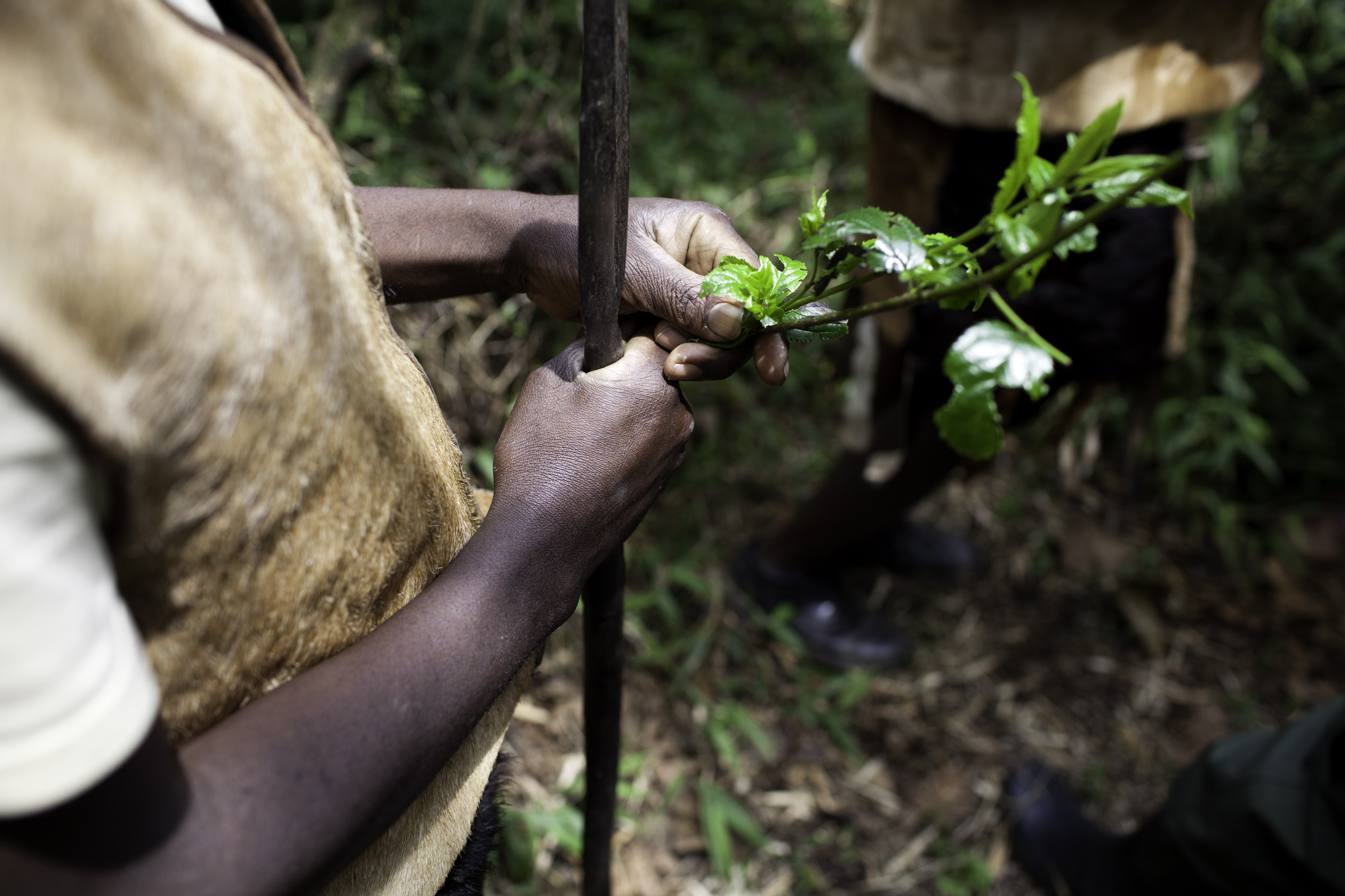 Living entirely off the land, the Batwa developed a deep knowledge of the forest's plants and their uses. The benefits of these plants are still known by many of the older generation, but have been largely lost on the youth who have spent their entire lives living outside the forest.