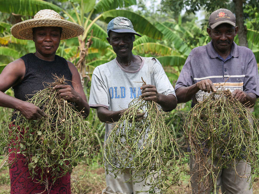 UNICEF pays more for ready-to-use therapeutic food made in Haiti, from local peanuts. That's partly because Haitian farmers plant and harvest the peanuts by hand.