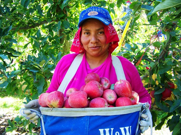 Amilia Magno, 23, of Pasco, Wash., carries a heavy load of buckeye gala apples in Broetje Orchards near Prescott, Wash. (Northwest News Network)