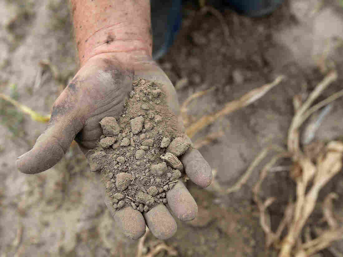 A farmer sifts through the drought-stricken topsoil of