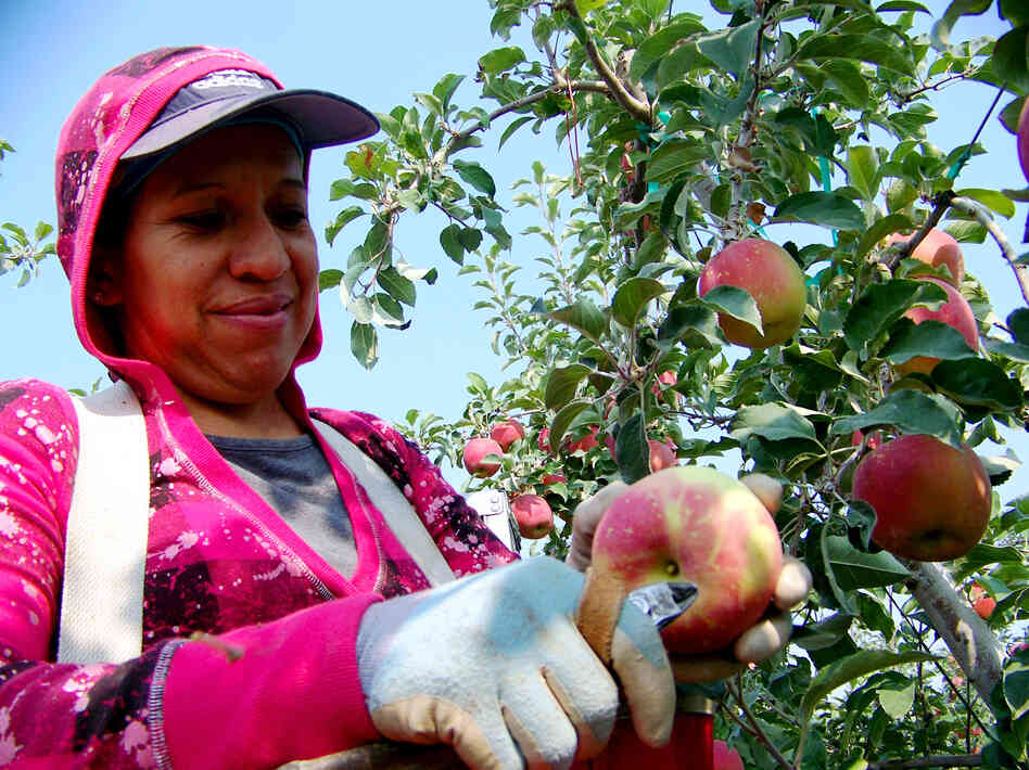 Maregarita Magana, 34, snips off the stem of an early Fuji apple in Chiawana Orchards near Pasco, Wash. State farmers worry that many apples might be left on the trees