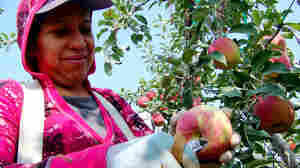 In Washington State, Picker Shortage Threatens Apple Boom