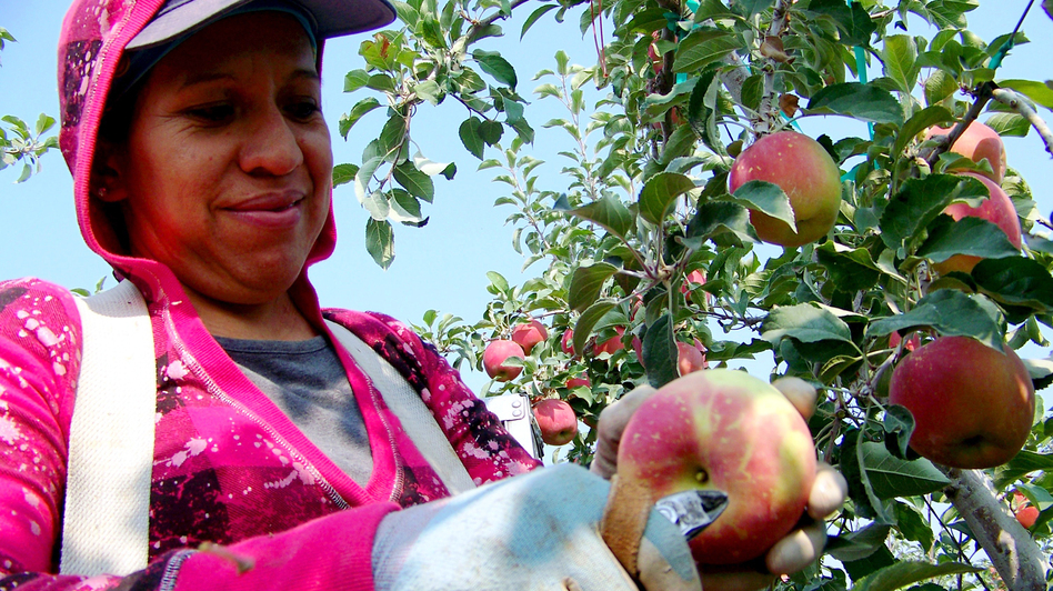Maregarita Magana, 34, snips off the stem of an early Fuji apple in Chiawana Orchards near Pasco, Wash. State farmers worry that many apples might be left on the trees this year. (Northwest News Network)