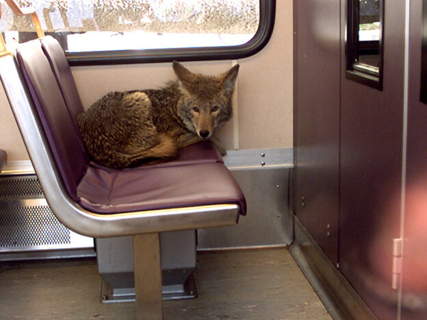 A coyote takes a ride on a light rail train in Portland, Ore., back in 2002. The wild canines are becoming more and more comfortable living in cities.