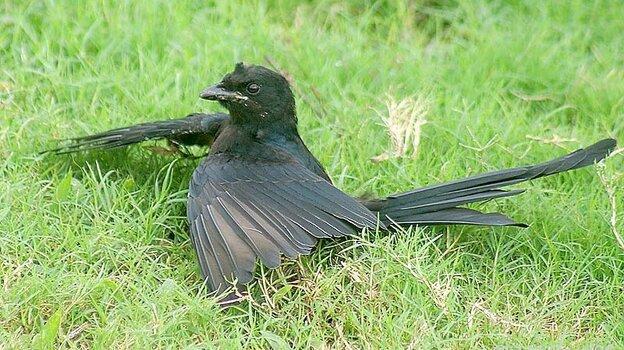 """Bird """"anting."""""""
