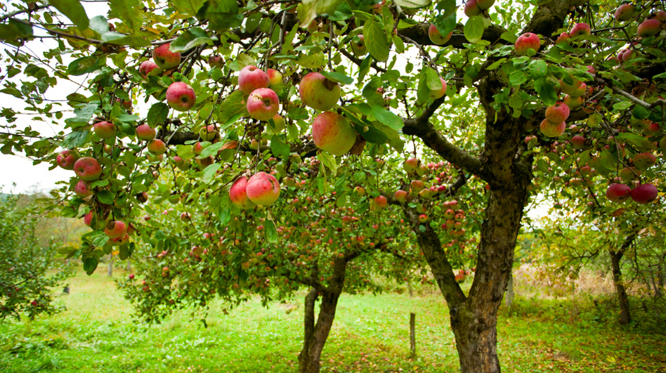 American apple growers realized that if they used dwarfing rootstocks and planted their trees closer together, they could increase their harvest of apples per acre by 200 to 300 percent. (iStockphoto.com)