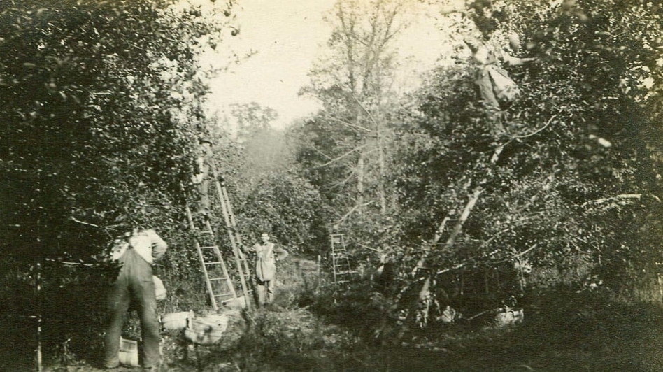 Harvest time at the Doud family farm in Ohio in 1916 before dwarf apple trees were common in the U.S. (Courtesy of Diane Doud Miller)