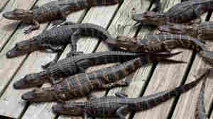 Plucky Former Poultry Farmer Goes Wild For Gators