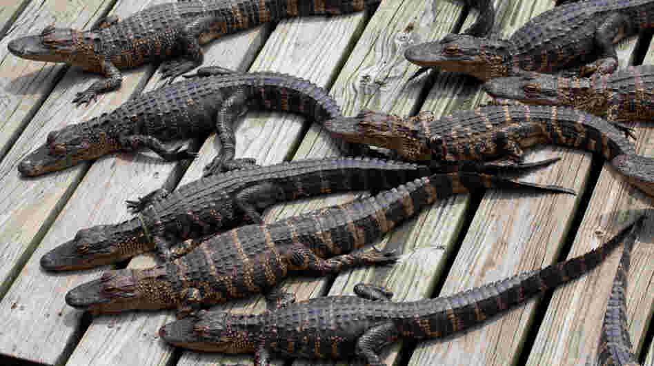 A group of baby gators basking in the sun.