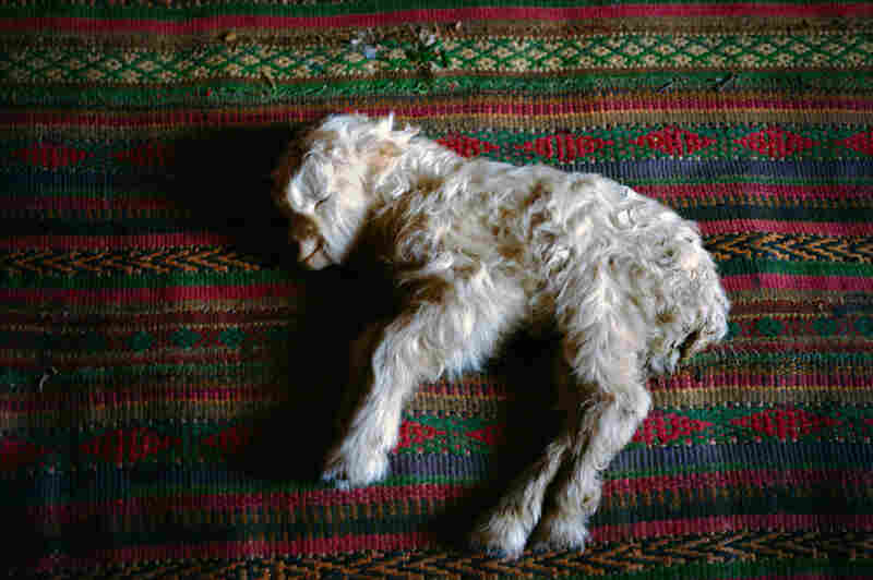 A newborn sheep, found early in the morning, is taken inside a mud-and-thatch house and laid on a carpet by a fire stove. A baby sheep born during a cold winter requires intensive care.