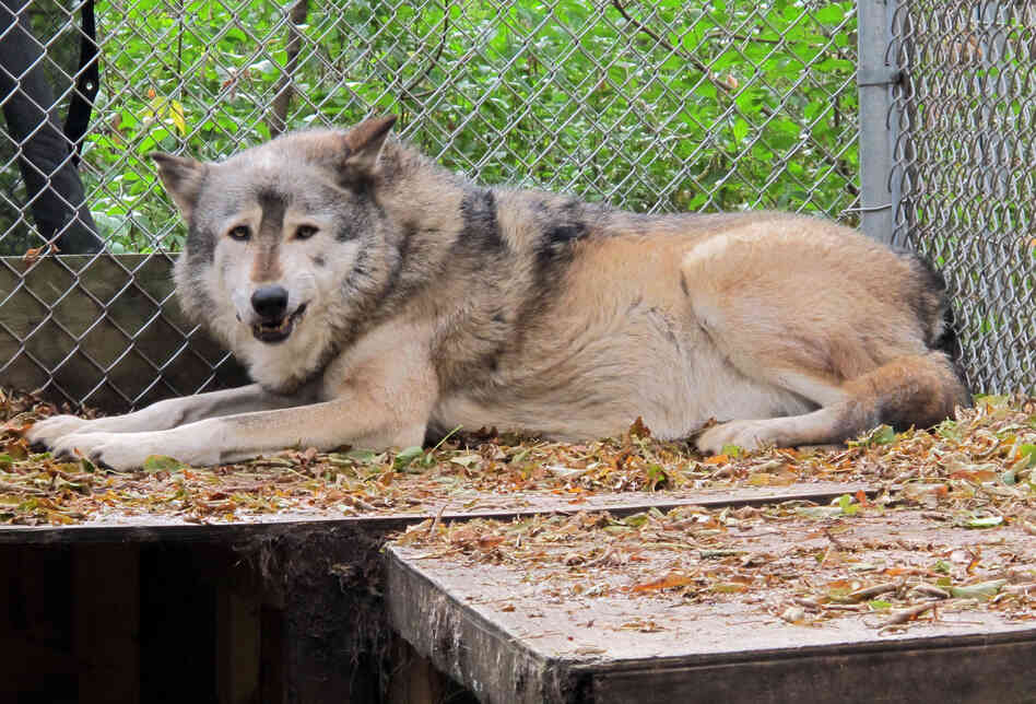A timber wolf named Comet is seen at the Timber Wolf Preservation Society in Greendale, Wis. Federal officials removed Great Lakes wolves from the endangered species list in January.