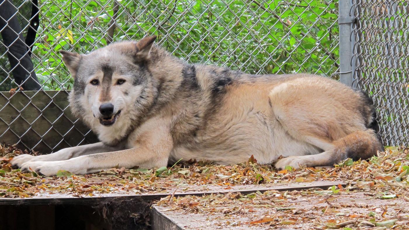 Wolf Hunter Games