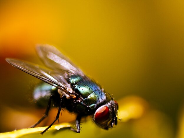 A common house fly could help fish stay in the sea.