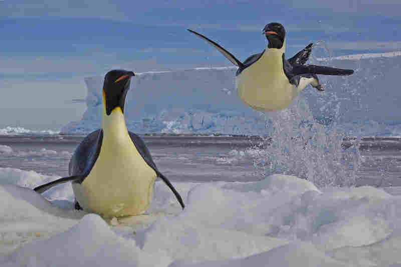 Winner, Behavior: Birds — Emperor penguins jump from the water to escape predatory leopard seals on the edge of the Ross Sea in Antarctica. The birds can skyrocket up to two meters out of the water. The penguins' survival is vital to that of their 2-month-old chicks, hungrily waiting some 10 kilometers away.