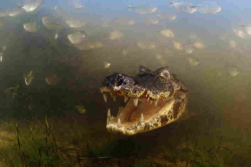 "Winner, Behavior: Cold-blooded Animals€ —"" A yacare caiman waits for fish to come within snapping reach in the shallow, murky waters of Brazil's Pantanal — the largest wetland in the world. Caimans can grow to be 3 meters in length."