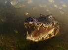 Winner - Behavior: Cold-blooded Animals - A yacare caiman waits for fish to come within snapping reach in the shallow, murky waters of Brazil's Pantanal - the biggest wetland in the world. Caimans can grow to be three meters in length.