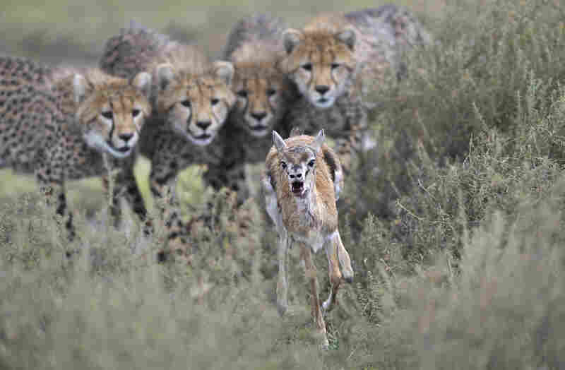Winner, Behavior Mammals — Cheetah cubs engage in hunting practice with a wounded Thomson's gazelle calf in Serengeti National Park, Tanzania.