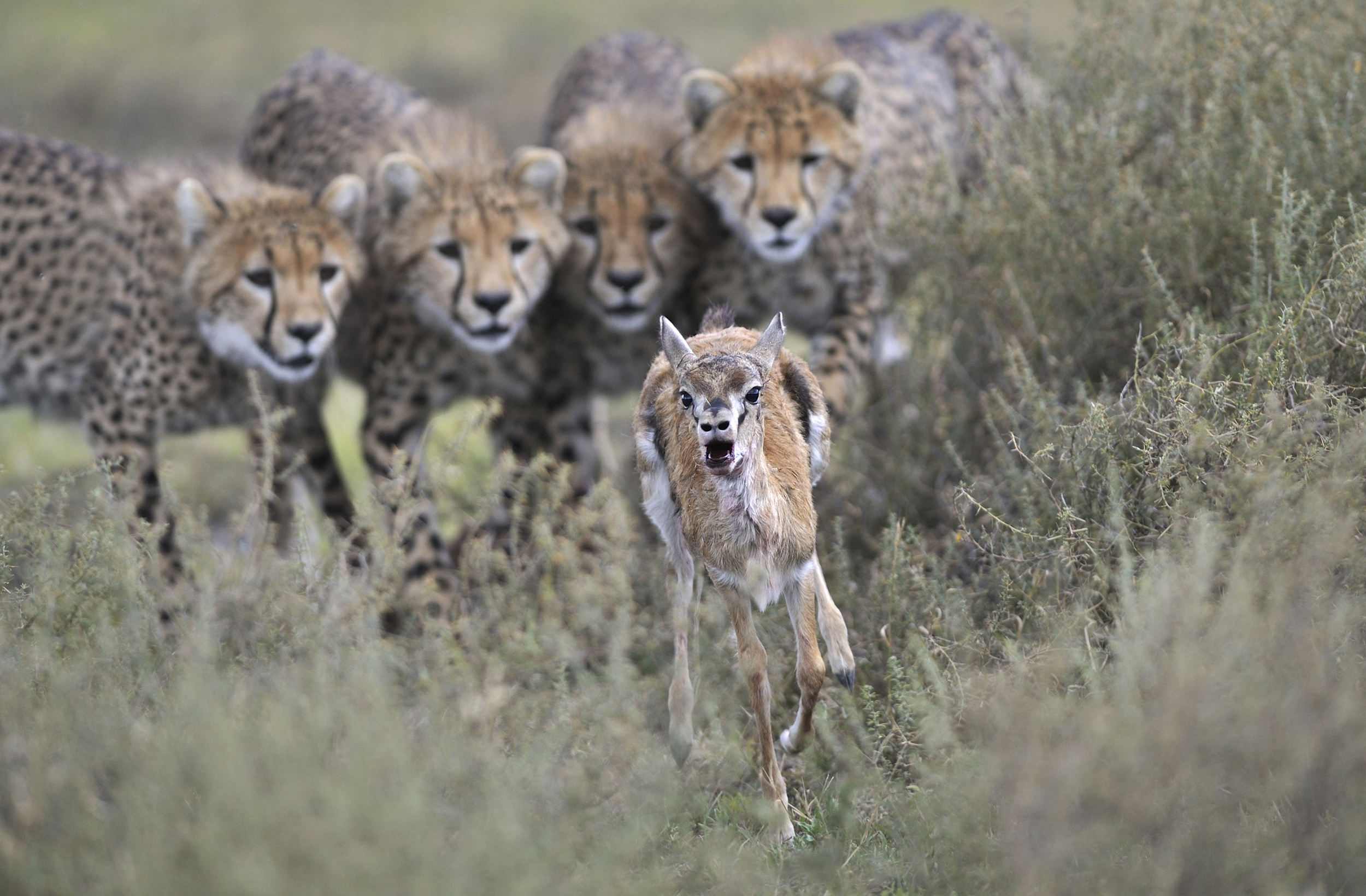 Winner, Behavior Mammals -- Cheetah cubs engage in hunting practice with a wounded Thomson's gazelle calf in Serengeti National Park, Tanzania.