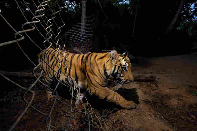 Winner, The Wildlife Photojournalist of the Year (part of a six-picture story) — A young Bengal tiger triggered a camera and photographed itself as it crossed through a fence at Bandhavgarh National Park in Madhya Pradesh, India. Some parts of the park have insufficient prey for the big cats, so park officials have deliberately made holes in the fence so they can venture out for food.