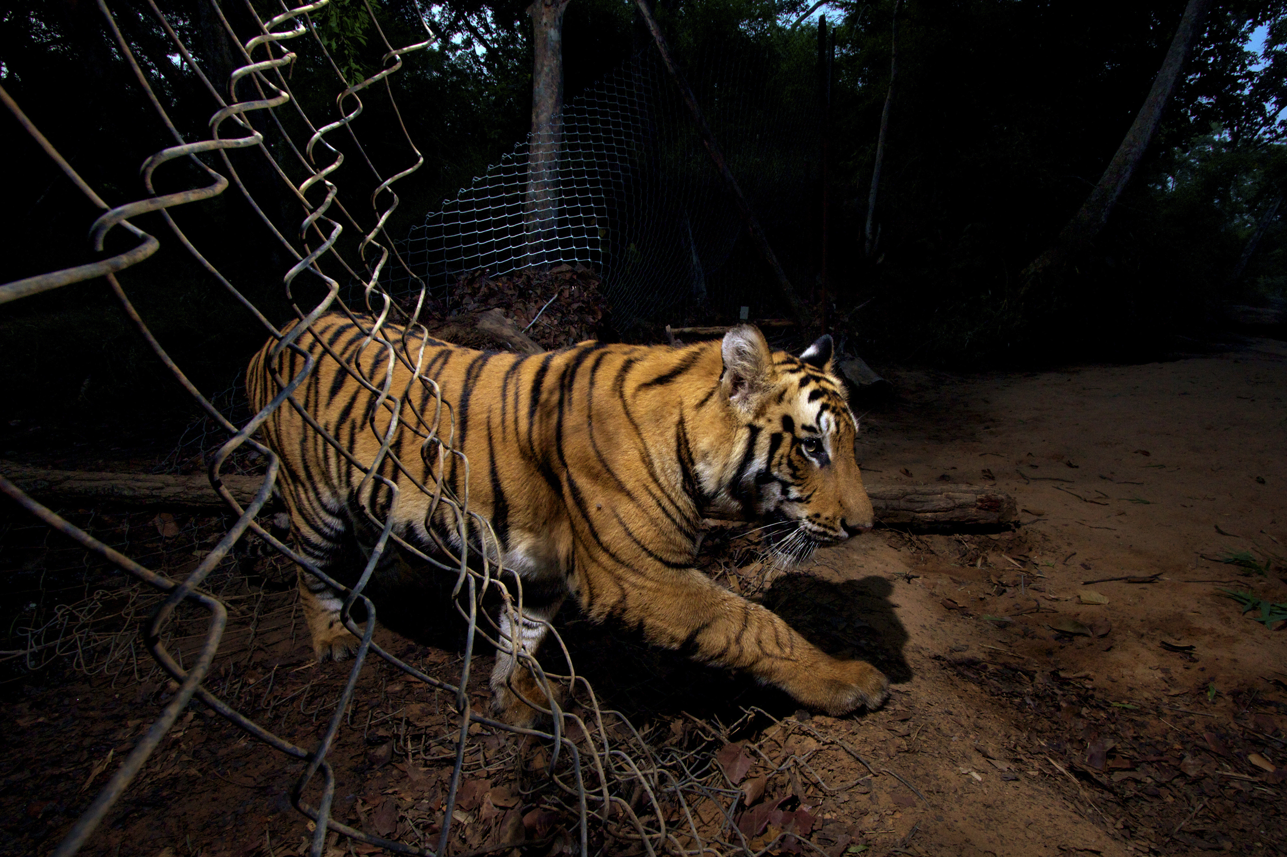 Winner, The Wildlife Photojournalist of the Year (part of a six-picture story) -- A young Bengal tiger triggered a camera and photographed itself as it crossed through a fence at Bandhavgarh National Park in Madhya Pradesh, India. Some parts of the park have insufficient prey for the big cats, so park officials have deliberately made holes in the fence so they can venture out for food.