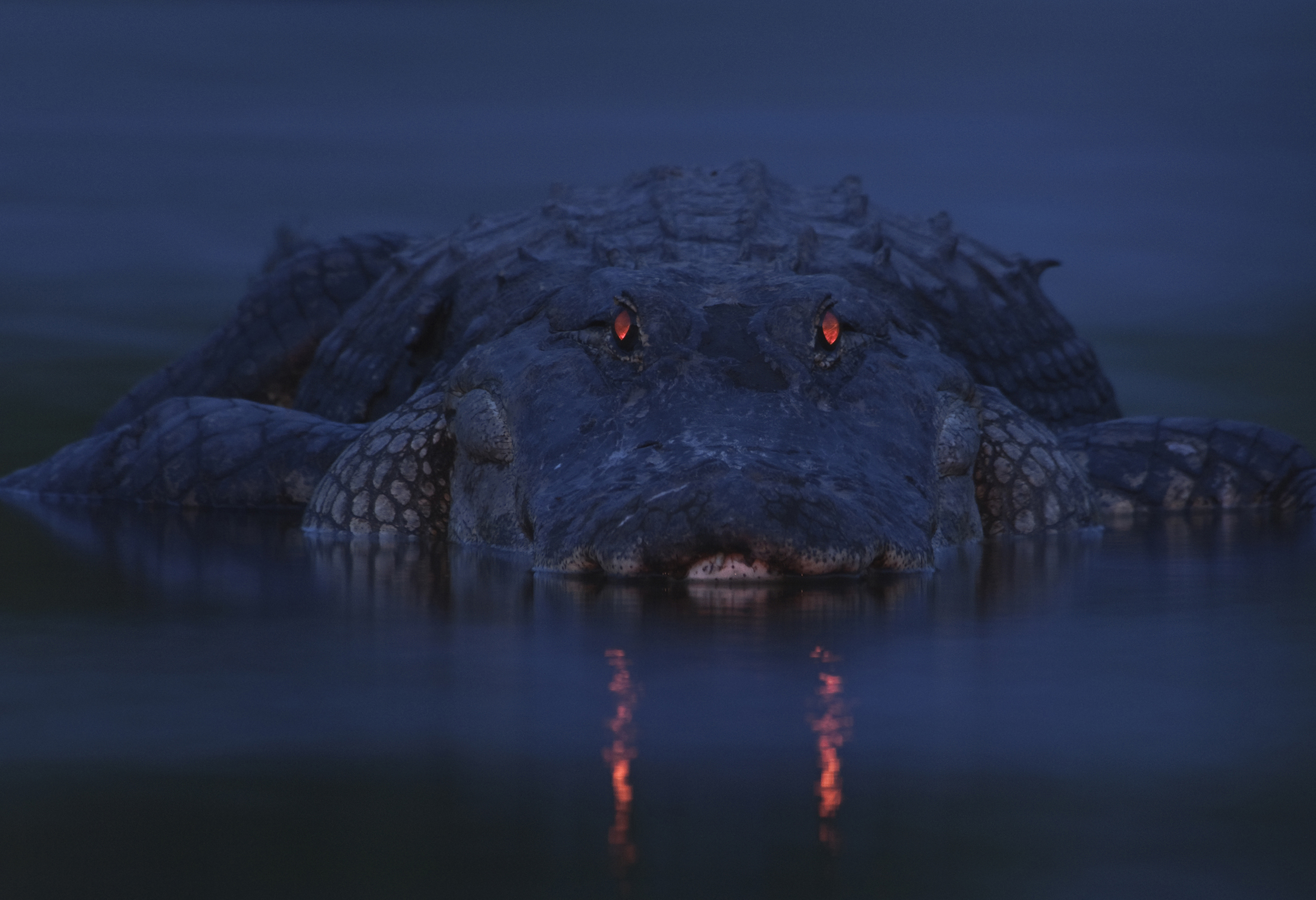 Winner, Animal Portraits -- An alligator is seen at Myakka River State Park in Sarasota, Fla. Like cats, alligators have a tapetum lucidum at the back of each eye -- a structure that reflects light back into the photoreceptor cells to make the most of low light. When light shines into alligators' eyes, the pupils appear to glow red.