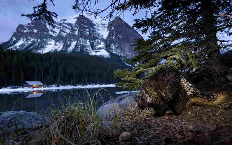 "Winner, Eric Hosking Award (part of a larger portfolio) — A nocturnal porcupine is photographed hours before dawn in Canada's Banff National Park. ""I had to use a slow shutter speed and maximum aperture opening, along with a narrow flash beam,"" said the photographer."