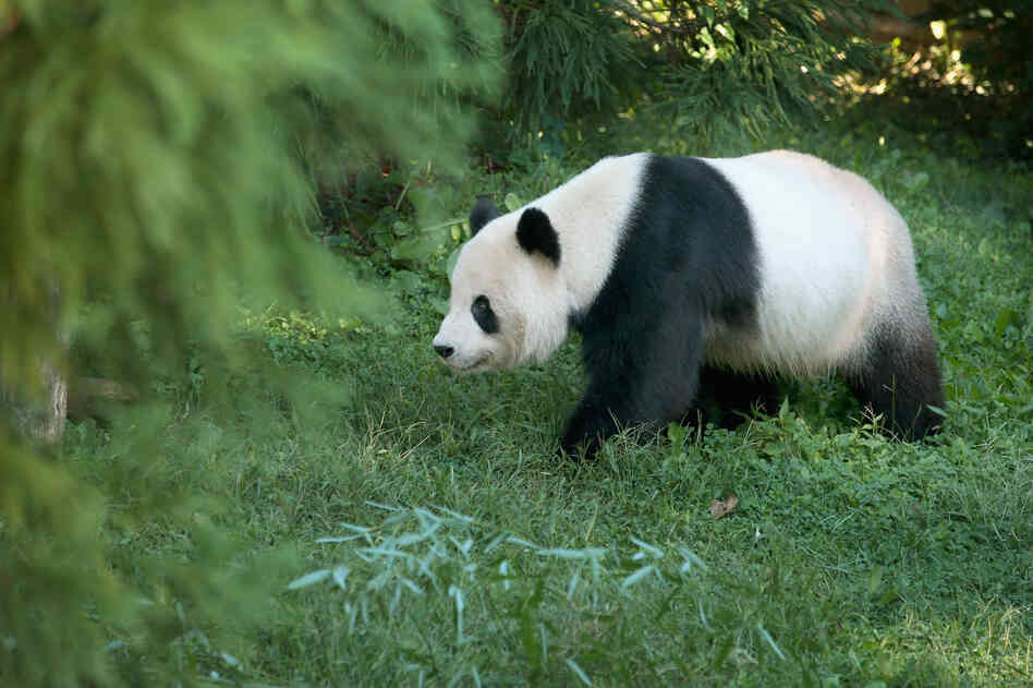Tian Tian, a 275-pound male giant panda at the Smithsonian National Zoological Park in Washington, D.C., on Sept. 24, 2012.