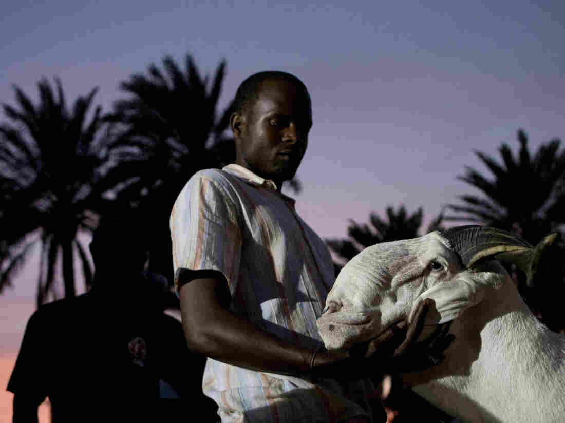 Breeder Pape Dieng massages the head of his ram, Salmane, as judges decide the results of the national final of the televised sheep reality competition Khar Bii, in Dakar, Senegal, on Saturday. Salmane finished third.
