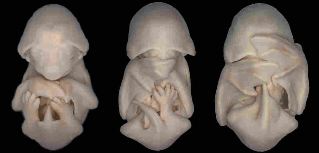 Embryos of the species Molossus rufus (black mastiff bat).