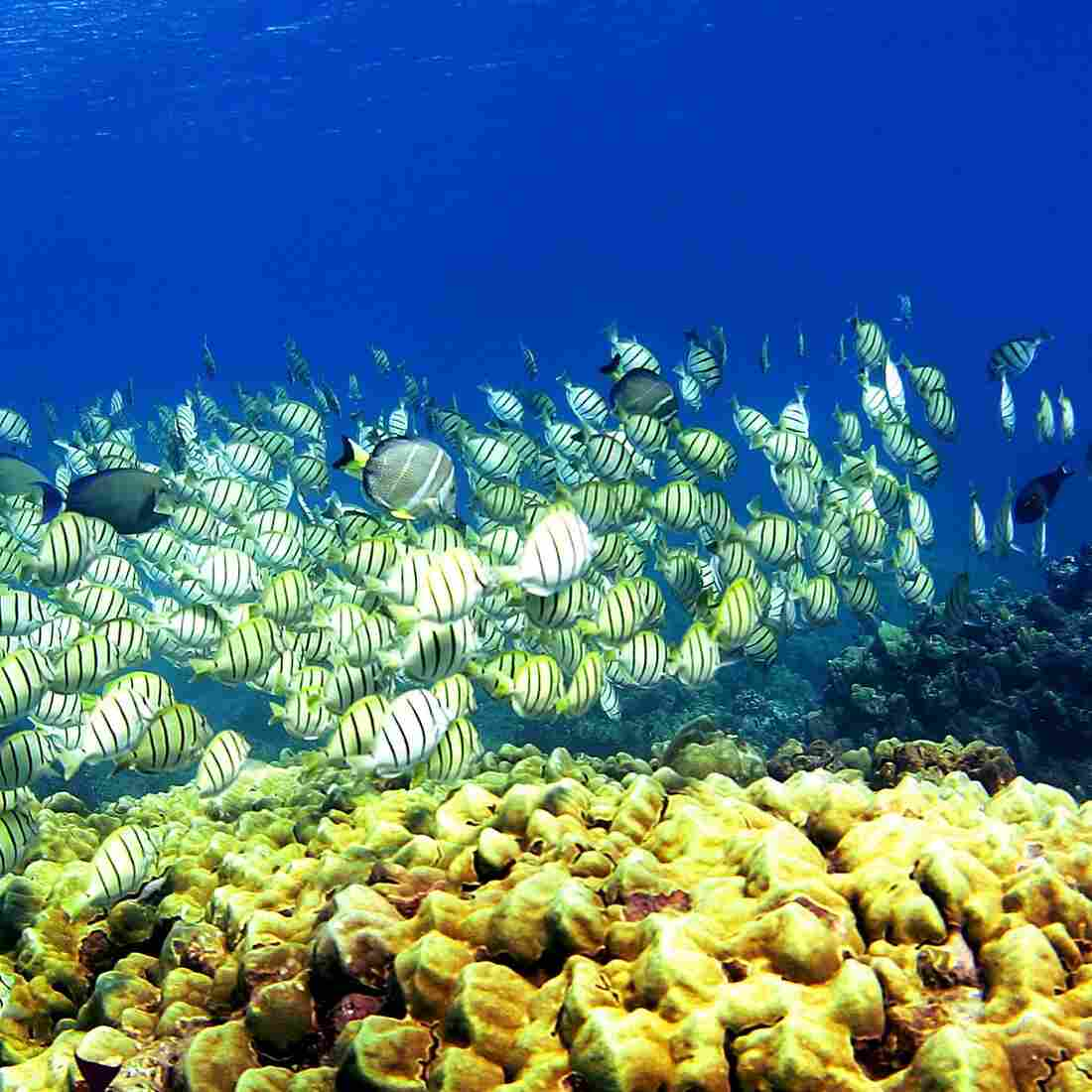 A school of manini fish passes over a coral reef at Hanauma Bay in 2005, in Honolulu. Researchers say schooling behavior like the kind seen in fish helps groups of animals make better decisions than any one member of the group could.