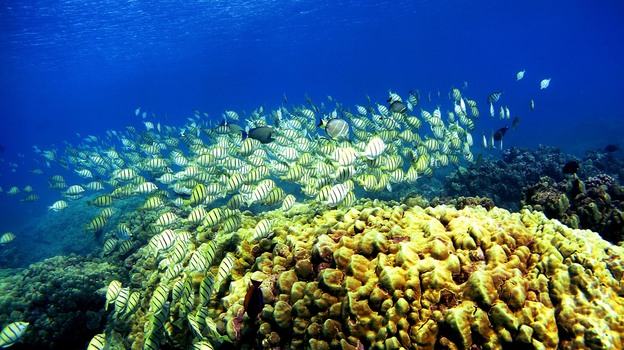 A school of manini fish passes over a coral reef at Hanauma Bay in 2005, in Honolulu. Researchers say schooling behavior like the kind seen in fish helps groups of animals make better decisions than any one member of the group could. (Getty Images)