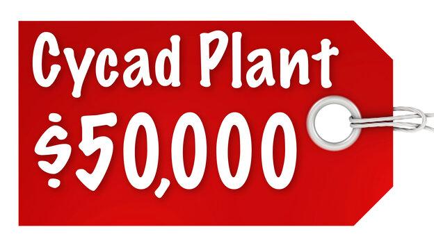 Cycad Plant $50,000