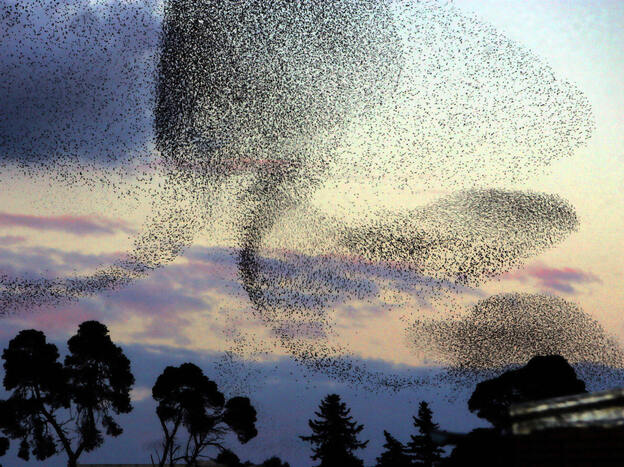 A large flock of starlings flies over a park at sunset in Algiers, Algeria, in 2006. Millions of birds migrate every year, arriving from Europe and crossing into Africa.