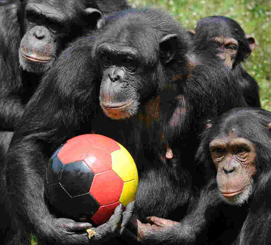 Chimpanzees are political animals who understand shared power and the benefits that flow from reconciliation.