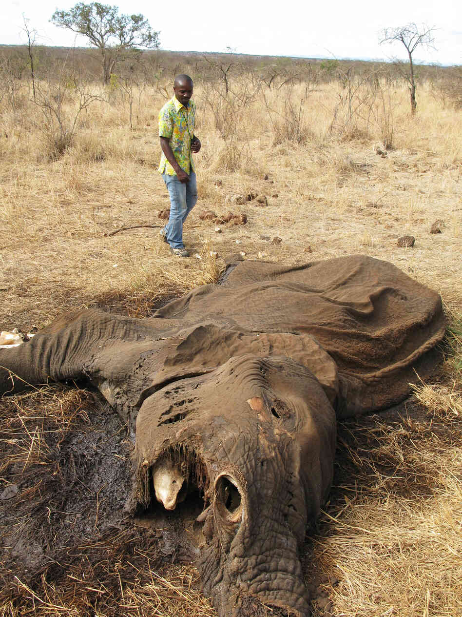 Poaching is rife in Tanzania game reserves. This elephant was killed, and its tusks taken, at the Lake Chala Safari Camp, a small, private reserve near Mount Kilimanjaro in northern Tanzan