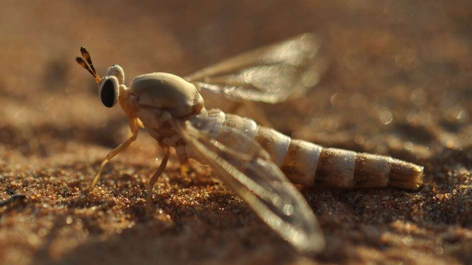 A midas fly touches down on the sands of the desert in the United Arab Emirates. A lake in the area has brought new forms of wildlife, but some scientists are concerned it could harm the habitat of the midas fly. (Brigitte Howarth)