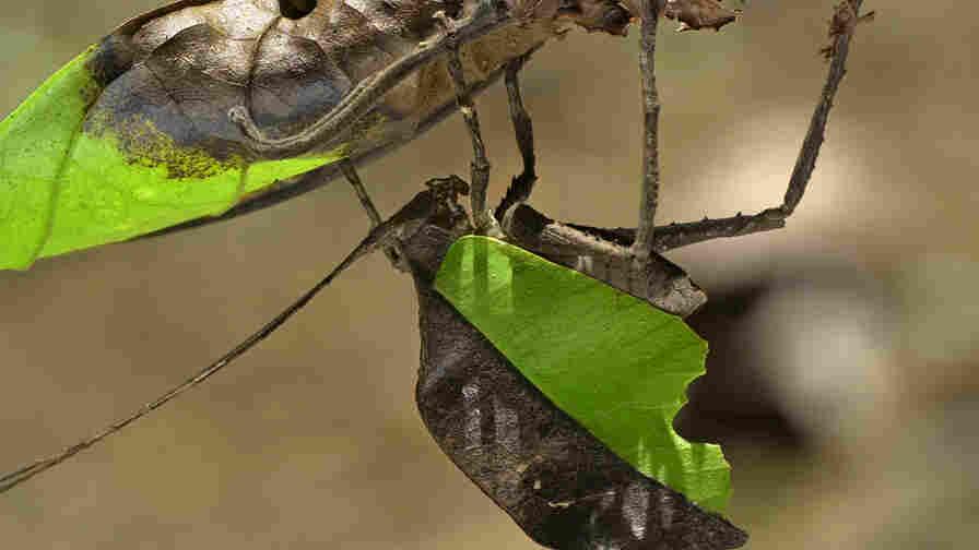 Mimetica mortuifolia