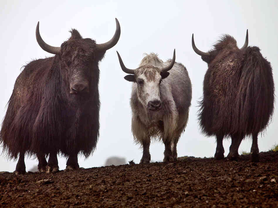 Yaks roam the hills in the Mustang District, in Nepal's Dhaulagiri Zone. Every day during the annual blood-drinking festival, attendees wait and watch for the yaks. Only male yaks are bled.