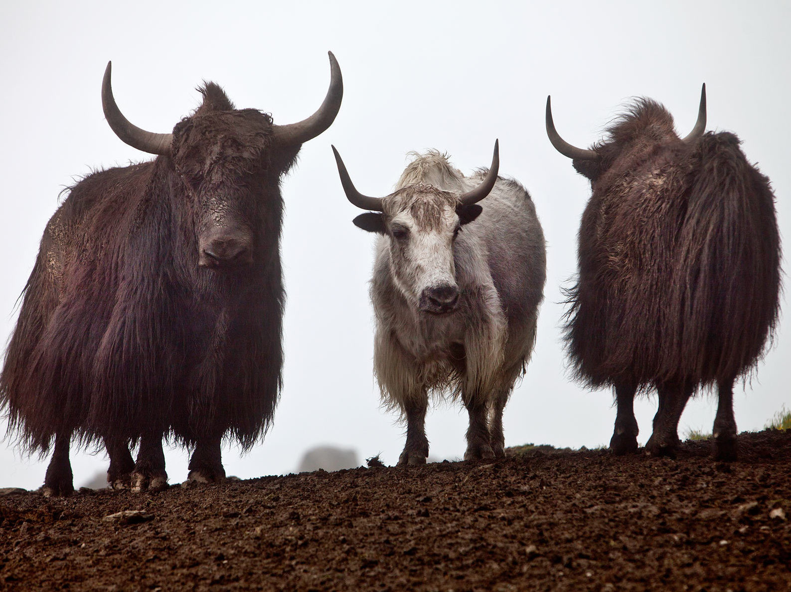 Yaks roam the hills in Mustang  District, in the Dhaulagiri Zone of Nepal. Every day during the annual blood-drinking festival, attendees wait and watch for the yaks. Only male yaks are bled.