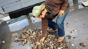 What they pull up is discouraging. Normally, 30 seconds under water would bring up a cage full of mostly healthy oysters. This time, Jimmy Bloom pulls up a cage that is barely one-third full. And it's haul is a mix of broken, chipped, meatless oysters.