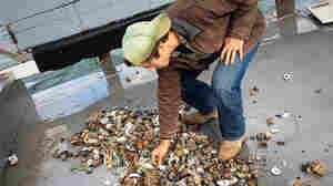 Sandy's Damage Under The Sea, Through The Eyes Of Oyster Farmers
