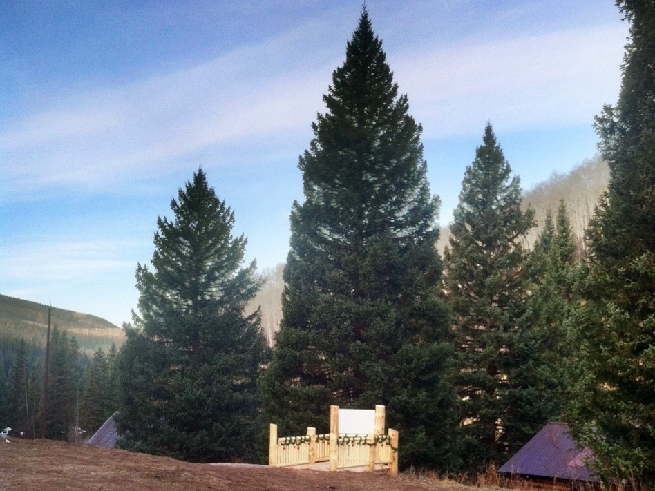 This year's Capitol Christmas Tree comes from White River National Forest in Northwest Colorado. The spruce is more than 70 feet tall. (Luke Runyon for NPR)