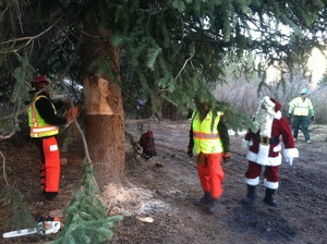 Crews cut down the national Christmas tree, carefully. To prevent it from falling over, they put a sling around it and hoisted it onto a flatbed truck.