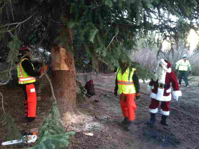 Santa Claus supervises as crews cut down the tree. To prevent the tree from falling over, the workers put a sling around it, then hoist it onto a flatbed truck.