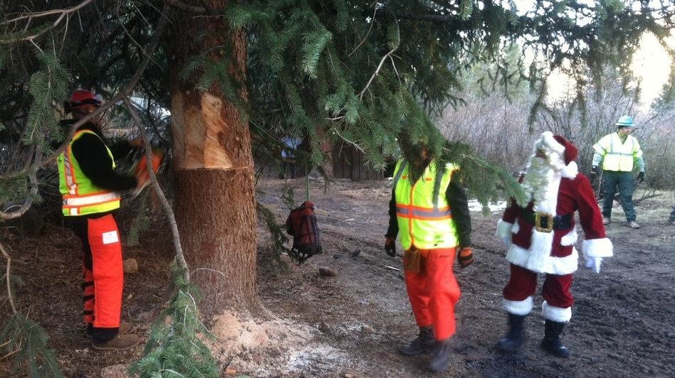 Santa Claus supervises as crews cut down the tree. To prevent the tree from falling over, the workers put a sling around it, then hoist it onto a flatbed truck. (Luke Runyon for NPR)