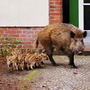 Some 3,000 wild boars are estimated to roam Germany's capital. This 2008 picture provided by the Berlin Forestry Commission shows a sow and her offspring that decided to make their home outside an apartment building. Recently, a wild boar attacked and injured four people in a Berlin neighborhood.
