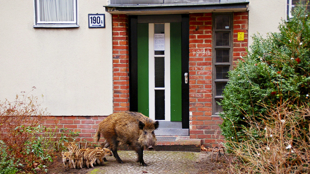 Some 3,000 wild boars are estimated to roam Germany's capital. This 2008 picture provided by the Berlin Forestry Commission shows a sow and her offspring that decided to make their home outside an apartment building. Recently, a wild boar attacked and injured four people in a Berlin neighborhood. (Berlin Forestry Commission)