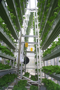 Troughs of bok choy stack up vertically at the 30-feet urban farm in Singapore. The veggies rotate along the A-frame to ensure they receive even lighting.