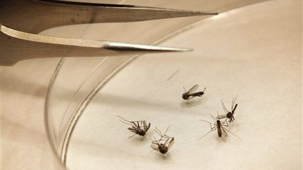 Mosquitoes are sorted at the Dallas County mosquito lab in Dallas, Texas on Aug. 16, 2012. Dallas County has seen the highest number of cases of West Nile virus of any county in Texas: 379 this year, as of Oct. 25. (ASSOCIATED PRESS)