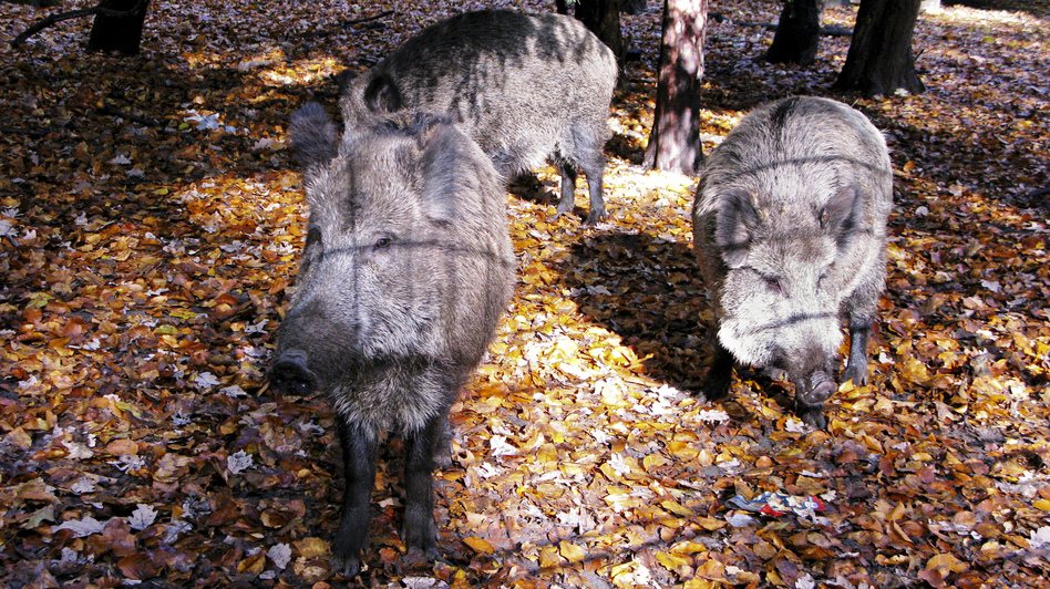 Wild boar, shown here inside an enclosure in a Berlin city park,  are considered smart and quickly learn how to avoid hunters. (NPR)